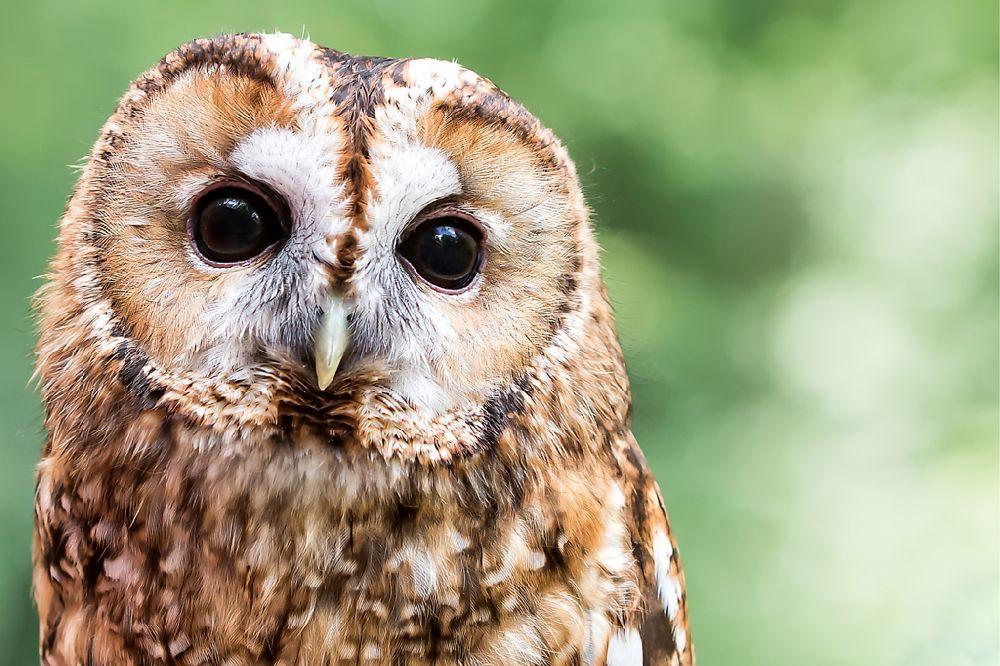 Tawny Owl Sweetness by Lynda Chan